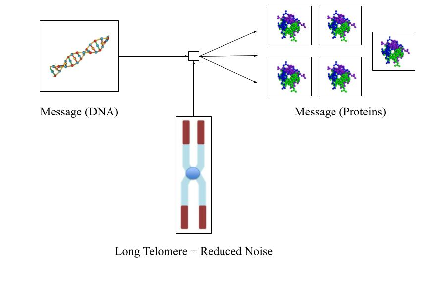 aging-noise/long-telomere.png