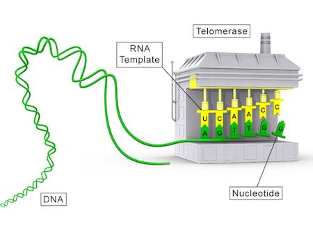 reversing-aging/telomerase.png